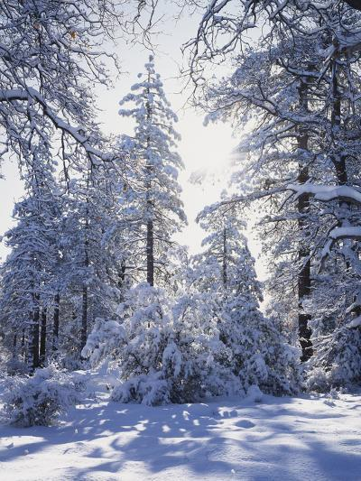California, Cleveland Nf, Laguna Mts, Winter Sunrise in Forest-Christopher Talbot Frank-Photographic Print