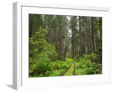 California, Del Norte Coast Redwoods State Park, Damnation Creek Trail and Redwood trees-John & Lisa Merrill-Framed Photographic Print