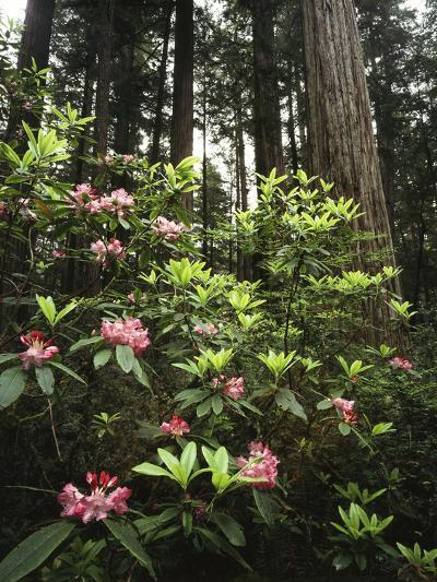 California, Del Norte Redwood Sp, Rhododendron in Coast Redwood Forest-Christopher Talbot Frank-Photographic Print