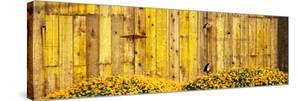 California Golden Poppies (Eschscholzia Californica) in Front of Weathered Wooden Barn