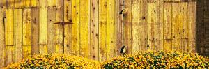 California Golden Poppies (Eschscholzia Californica) in Front of Weathered Wooden Barn