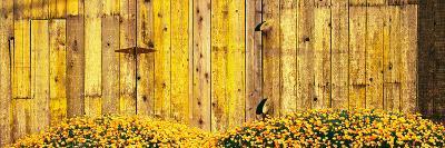 California Golden Poppies (Eschscholzia Californica) in Front of Weathered Wooden Barn--Photographic Print