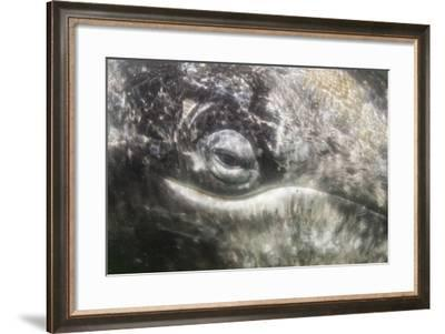 California Gray Whale (Eschrichtius Robustus) Approaching Zodiac Underwater in Magdalena Bay-Michael Nolan-Framed Photographic Print