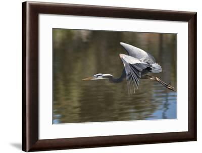 California. Great Blue Heron Flying over Lake-Jaynes Gallery-Framed Photographic Print