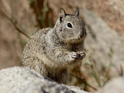 California Ground Squirrel (Citellus Beecheyi), Joshua Tree National Park, California, USA--Photographic Print