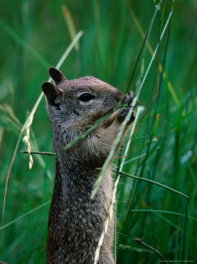 California Ground Squirrel (Spermophilus Beecheyi) in Grasslands, Yosemite National Park, CA, USA-David Tomlinson-Photographic Print