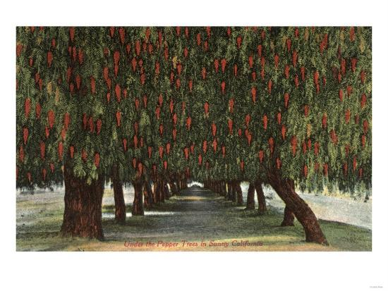 California - Groves of Pepper Trees-Lantern Press-Art Print