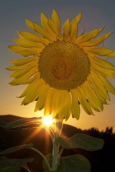 California. Hybrid Sunflower-Jaynes Gallery-Photographic Print