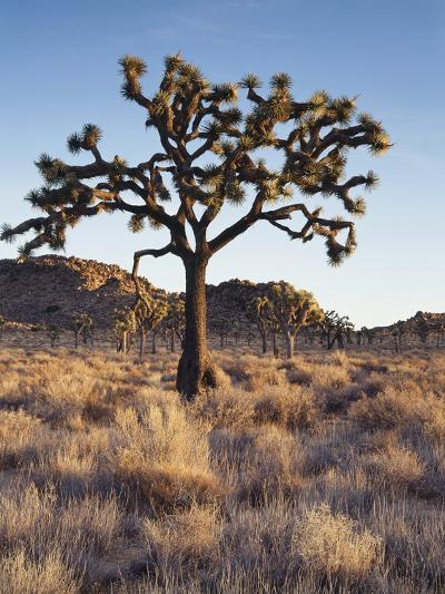 California, Joshua Tree National Park, a Joshua Tree in the Mojave Desert-Christopher Talbot Frank-Photographic Print