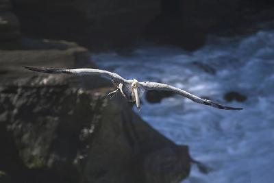 California, La Jolla. Brown Pelican Flying-Jaynes Gallery-Photographic Print