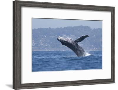 California, La Jolla. Humpback Whale Breaching-Jaynes Gallery-Framed Photographic Print