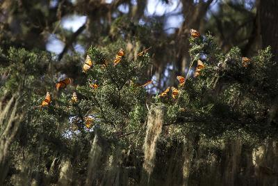 California. Monarch Butterflies at Monarch Grove Butterfly Sanctuary-Kymri Wilt-Photographic Print
