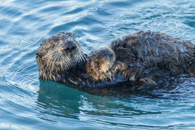 California, Morro Bay. Sea Otter Parent and Pup-Jaynes Gallery-Photographic Print