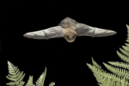 California Myotis (Myotis Californicus) in Flight, Rogue River National Forest, Oregon, USA, August-Michael Durham-Photographic Print