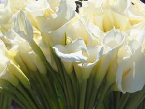 California, Pacifica, the Tall Elegant Calla Lily Is a Very Popular Flower