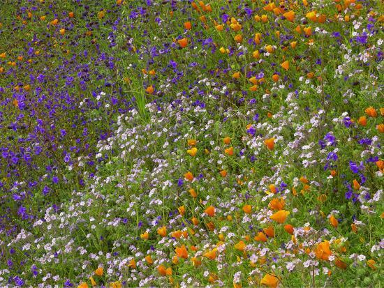 California Poppies and Desert Bluebells on a Meadow Hillside, California Usa-Tim Fitzharris-Photographic Print