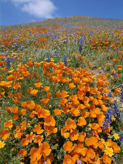 California Poppies and Lupines Fill a Landscape with a Golden Glow-Rich Reid-Photographic Print