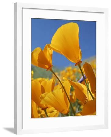 California Poppies, California Usa-Tim Fitzharris-Framed Photographic Print