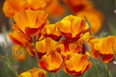 California Poppies in Bloom, Seattle, Washington, USA-Terry Eggers-Photographic Print