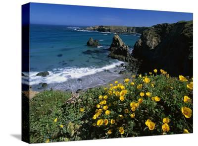 California Poppies on coastal cliff, Jughandle State Reserve, California-Tim Fitzharris-Stretched Canvas Print