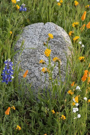 California Poppies with Boulder in a Field-Judith Zimmerman-Photographic Print