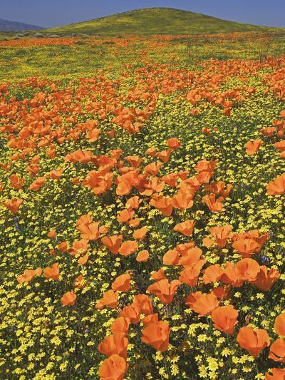 California Poppies-Adam Jones-Photographic Print