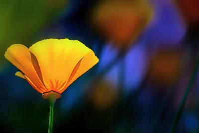 https://imgc.artprintimages.com/img/print/california-poppy-1_u-l-q1a8lsu0.jpg?p=0