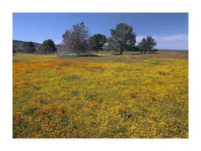 California Poppy and Eriophyllum flowers in field, Antelope Valley, California-Tim Fitzharris-Art Print