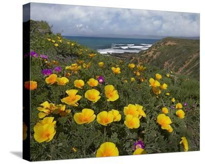 California Poppy field, Montano de Oro State Park, California-Tim Fitzharris-Stretched Canvas Print