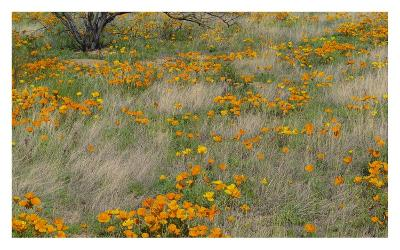 California Poppy meadow with grasses, California-Tim Fitzharris-Art Print