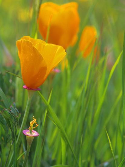 California Poppy Reserve, Lancaster, California, USA-John Alves-Photographic Print