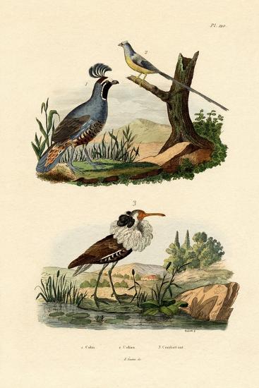 California Quail, 1833-39--Giclee Print
