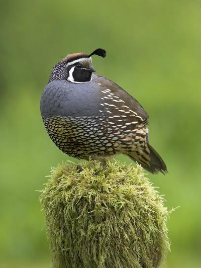 California Quail (Callipepla Californica) Perched on a Mossy Tree Stump in Victoria-Glenn Bartley-Photographic Print