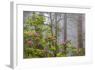 California, Redwood National Park, Lady Bird Johnson Grove, redwood trees with rhododendrons-John & Lisa Merrill-Framed Premium Photographic Print