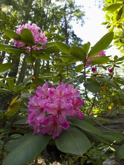 California Rhododendron, Rhododendron Macrophyllum, Kruse Rhododendron Reserve-Gerald & Buff Corsi-Photographic Print