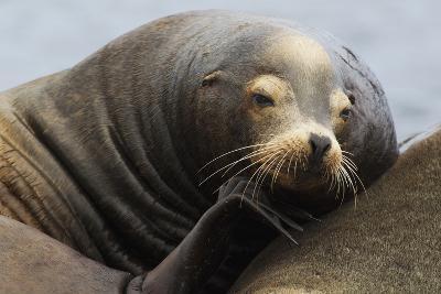 California Sea Lion Resting-Ken Archer-Photographic Print