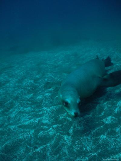 California Sea Lion Swims Close to the Sea Floor-Heather Perry-Photographic Print
