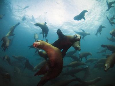 California Sea Lions  Swimming Underwater Off Anacapa Island.-Ian Shive-Photographic Print