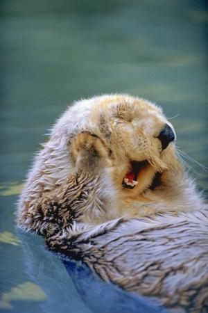 https://imgc.artprintimages.com/img/print/california-sea-otter-floating-face-up-monterey-california_u-l-q1d0uhw0.jpg?p=0