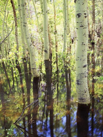 California, Sierra Nevada, Inyo Nf, Aspen Trees Along Rush Creek-Christopher Talbot Frank-Photographic Print