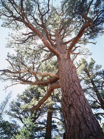 California, Sierra Nevada, Inyo Nf, Old Growth Ponderosa Pine Tree-Christopher Talbot Frank-Photographic Print