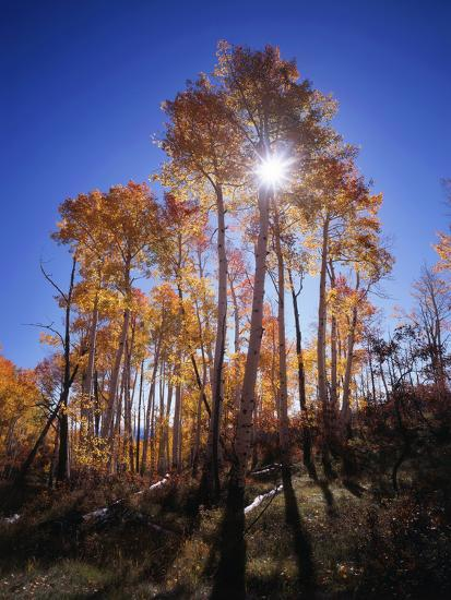 California, Sierra Nevada, Inyo Nf, Suns Rays Through Autumn Aspens-Christopher Talbot Frank-Photographic Print