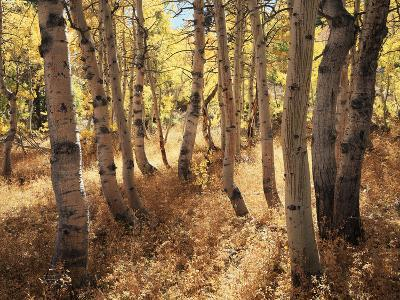 California, Sierra Nevada, Inyo Nf, the Autumn Colors of Aspen Trees-Christopher Talbot Frank-Photographic Print