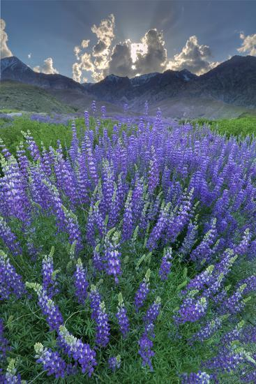 California, Sierra Nevada Mountains. Inyo Bush Lupine Blooms and Mountains-Jaynes Gallery-Photographic Print