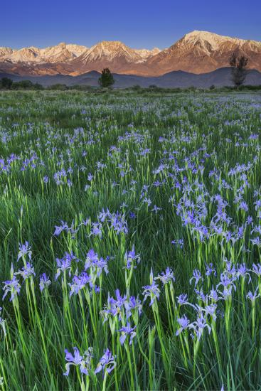California, Sierra Nevada Mountains. Wild Iris Blooming in Owens Valley-Jaynes Gallery-Photographic Print