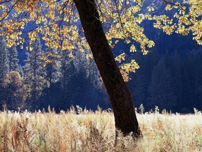 California, Sierra Nevada, Yosemite National Park, a Backlit California Black Oak-Christopher Talbot Frank-Photographic Print