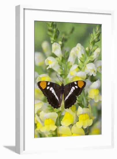 California Sister Butterfly on Yellow and White Snapdragon Flowers-Darrell Gulin-Framed Photographic Print