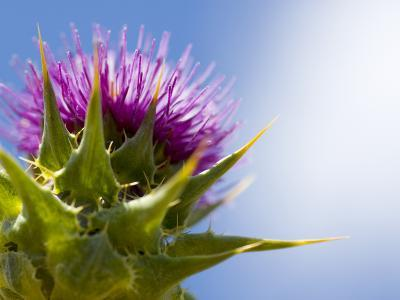 California Thistle, Cirsium Arvense, Lafayette Reservoir, Lafayette, California, Usa-Paul Colangelo-Photographic Print