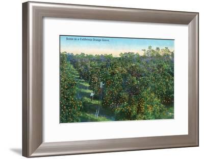 California - View of a Orange Grove-Lantern Press-Framed Art Print