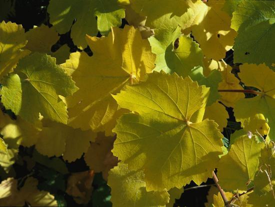 California Wild Grape Leaves (Vitis Californica)-Marc Moritsch-Photographic Print